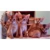 Абиссинские котята - для себя и в разведение