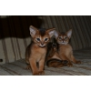 Абиссинские котята,  дикий окрас