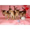 Абиссинские котята дикого и соррель окраса