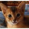 Абиссинские котята дикого окраса2 . 5 месяца