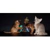 Абиссинские котята голубого окраса