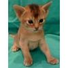 Абиссинские котята из питомника Artlazar