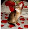 Абиссинские котята от интер-чемпиона