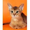 Абиссинские котята питомника