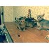 Абиссинские котята разных окрасов