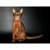 Абиссинских котята из питомника