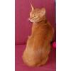 Абиссинский кот импорт США.  Вязка.