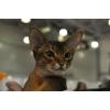 Абиссинский кот импорт США приглашает дам на вязку.