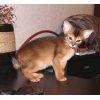Абиссинский котенок Best in Show Litter