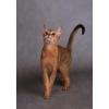 """Абиссинский котик 3 мес. из п-ка """"Silver Blossom""""."""
