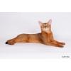 Абиссинский котик приглашает на вязку
