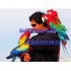 Абсолютно ручные птенцы попугаев ара
