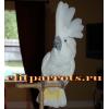 Абсолютно ручные птенцы попугаев Какаду