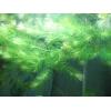 Аквариумное растения Роголистник  розеточки Пистия также Коряжки и Коряги.