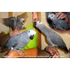 Алохвостый Жако - ручные птенцы выкормыши