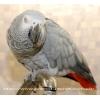 Алохвостый Жако (Psittacus erithacus) – птенцы выкормыши