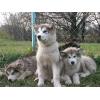 Аляскинские маламуты-высокопородные щенки