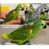 Амазоны – ручные птенцы ( Разные виды )
