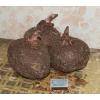 Аморфофаллюс пионолистный Amorphophallus paeoniifolius,  продаю крупный клубень