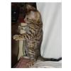Бенгальская котята
