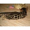 Бенгальские котята для души недорого(летние скидки)