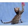Бенгальские котята к Новому году