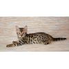 Бенгальские котята по низким ценам