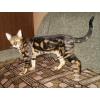 бенгальские котята  с документами  и с правом размножения