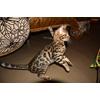 Бенгальские котята шалуны