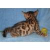 Бенгальский котенок недорого