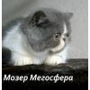 Би-колорный экзотический котик
