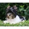 Бивер йорк щенок девочка из Германии