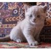 Британская кошечка лилового окраса-Девочка