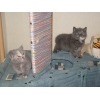 Британские и шотландские вислоухие котята,  Ясенево