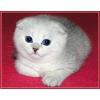 Британские  и  Вислоухие Котята – Серебристая Шиншилла,  голубой