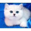 Британские клубные котята Серебристые шиншиллы шоу-класс с изумрудными и сапфировыми глазками