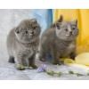 Британские котята 1, 5 месяца