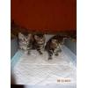 """Британские котята 2 мес. из п-ка \""""Silver Blossom\""""."""