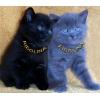 Британские котята из профессионального питомника Ridolina.