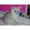 Британские котята.  Серебристые шиншиллы.