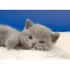 Британские котята голубые и лиловые.