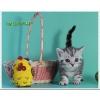 Британские котята из питомника Patternville
