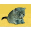 Британские котята из Питомника Ольги Барсуковой