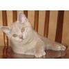 Британские котята лилового окраса-Мальчики