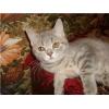 британские котята  мрамор и дым,  девочки