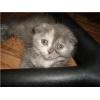британские   котята,   мрамор и однотонные