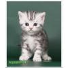 Британские котята мраморного окраса из питомника