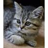 Британские котята недорого и подрощенные в дар