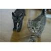 Британские котята,  окрасы дымный,  золотисто-рисунчатый и тигровый