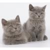 Британские котята различных окрасов